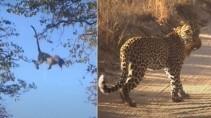 Леопард удивил туристов своим поведением