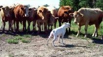 Коровы проявили интерес к собаке