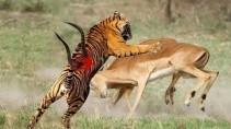 Битва животных от которых волосы встают дыбом