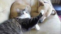 Большая дружба кошки и собаки