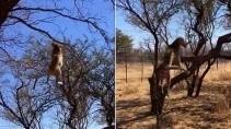 Леопард в прыжке поймал птицу в 8 метрах о земли