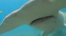 Нападение акулы-молота на человека попало на видео