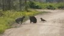 Ворона вмешалась в конфликт двух котов