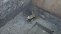 Спас умную лису из ловушки с помощью веревки