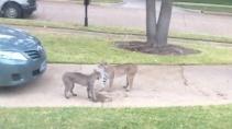 Две рыси не поделили территории встретившись во дворе дома