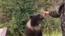 Вот почему нельзя играть с медведем