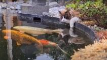 Кот каждый день приходит на пруд посмотреть на карпа кои