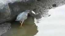 Самая умная птица рыбак