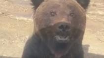 Неожиданная встреча с молодым медведем на Ямале