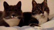 Интеллектуальная беседа двух котов