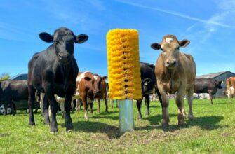 Реакция коровы на щетку для чесания
