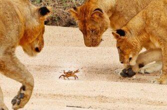 Реакция льва на маленького краба
