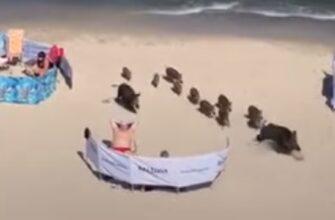 Семья кабанов решила прогуляться по пляжу заполненного людьми