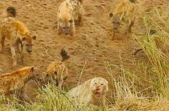 Льва окружили гиены и он позвал на помощь львиц