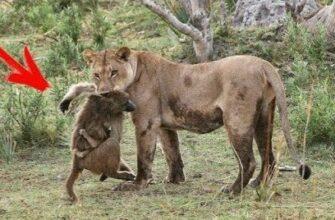 История которая произошла в Африке с большим львом и детенышем бабуина
