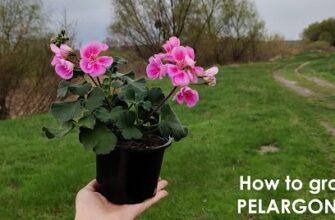 Как вырастить красивую пеларгонию (герань) шаг за шагом