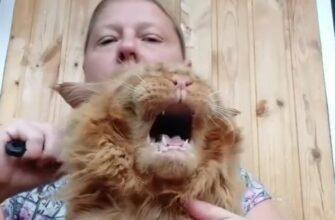 Кот который не любит расчесываться