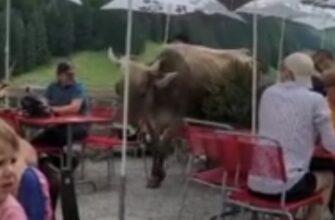 Корова ворвалась в ресторан и решила там нагадить