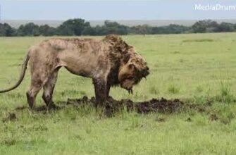 Лев потратил 7 часов пытаясь выкопать бородавочника