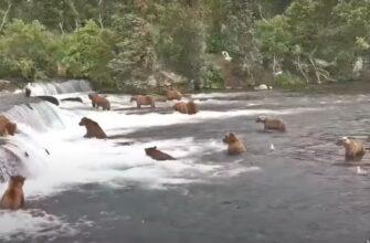 Медведи устроили пляжную вечеринку в парке Катмай на Аляске