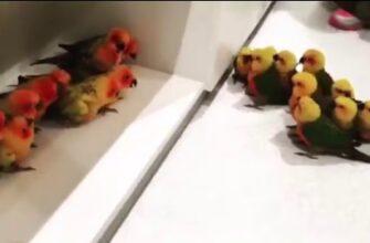 Две банды попугаев не поделили территорию