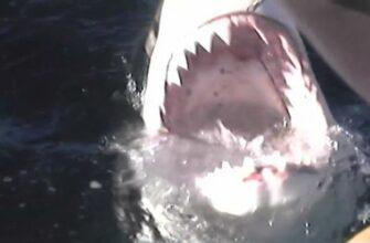Решил поиграть с большой белой акулой