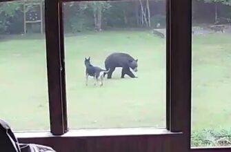 Собака впервые увидела медведя и решила с ним поиграть