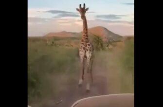 Жирафу не понравилось что его снимают и наказал туристов