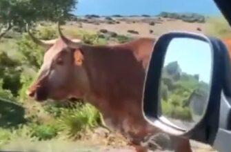 Местная корова подсказало дорогу туристам