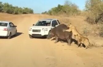 Бегемота совершенно не беспокоит нападение на него львов