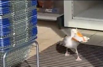 Чайку поймали на краже чипсов из магазина