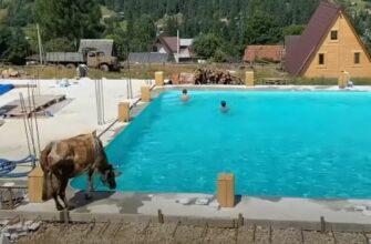 Корова устала от жары и прыгнула в прохладный бассейн