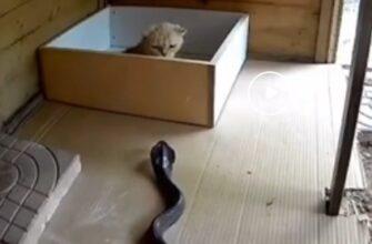 Смелый кот защитился от нападения кобры