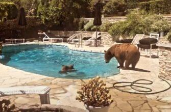 Медведи захватили бассейн и не подпускают к нему людей