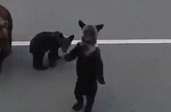 Медвежата машут на прощание русскому человеку