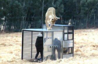 Новый способ знакомства со львами в заповеднике