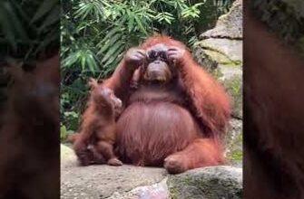 Умная самка орангутанга решила примерить очки потерянные девушкой