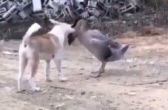 Собака против гуся - Бой с неожиданным результатом