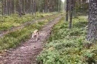 Серый заяц обхитрил бегущего за ним пса