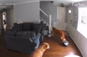 Почему не стоит отставлять собак с роботом-пылесосом в одной комнате