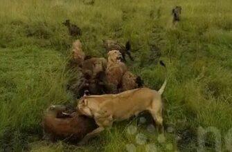 Гиены напали на львицу и сразу пожалели о своем решении