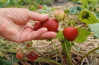 Как правильно размножить и вырастить вкусную клубнику