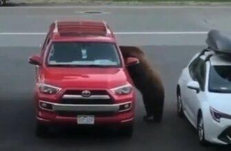 Реакция мужчины на медведя который залез в его машину