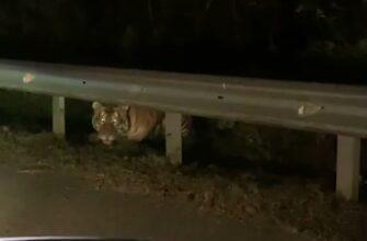 Неожиданная встреча с тигром у дороги
