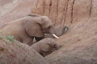 Слониха помогла слоненку взобраться на гору