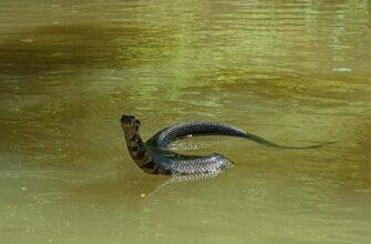 Ядовитая змея преследует каяк по воде