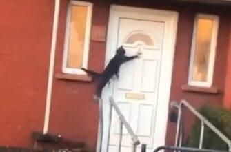 Что делает кот которого не пускают домой