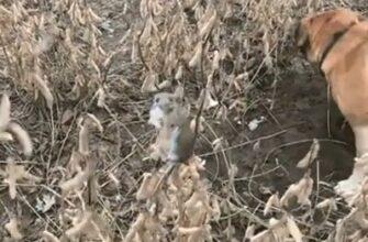 Мышь спряталась от собак в необычном месте