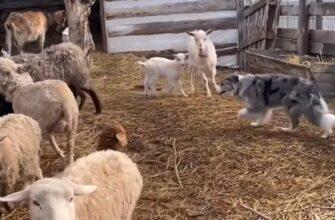 Как пастушья собака разделяет овец и коз?