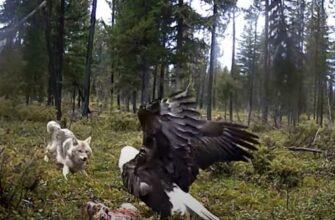Койот и орлан сражаются из-за добычи